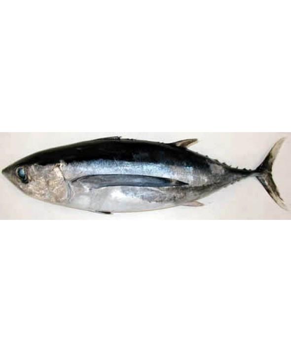 Tombo Alabacore White Tuna