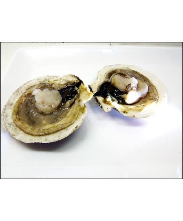 Live Sea Scallops in the Shell