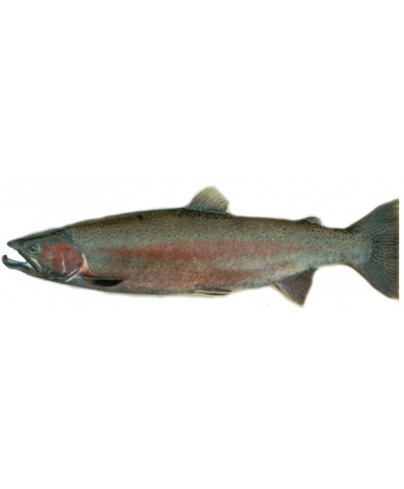 Steelhead Salmon Whole (4-6 lbs)