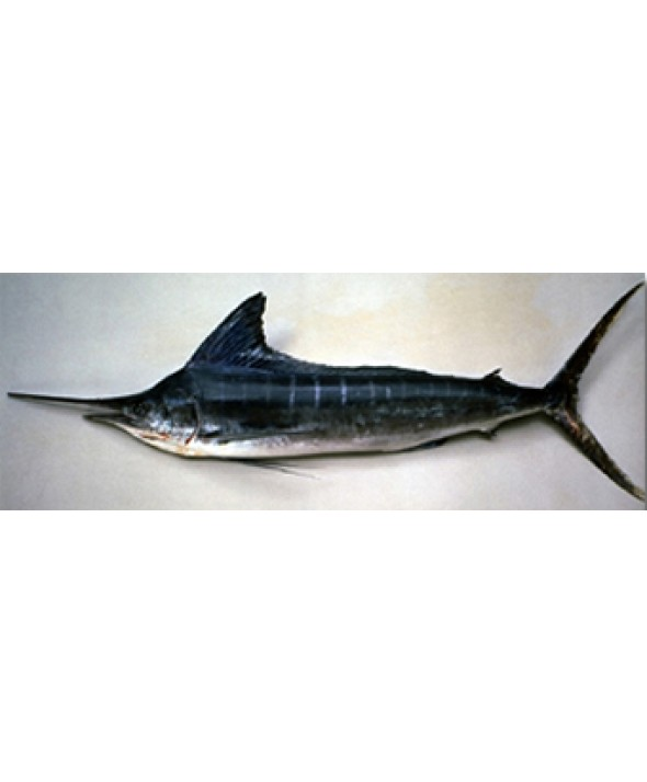 Striped Marlin Loin (Sashimi Grade)