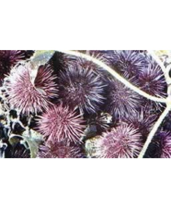 Live Sea Urchins (West Coast)