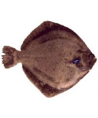 Spanish Turbot (2-3 lb or 3-4 lb)