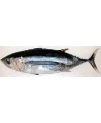 Tombo Alabacore White Tuna