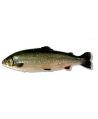 Whole Arctic Char (3-4 lbs)