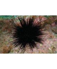 Live Sea Urchins (East Coast)