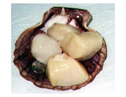 U10 Dry Sea Scallops