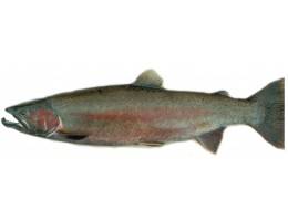 Steelhead Salmon Whole (4-6 lbs)