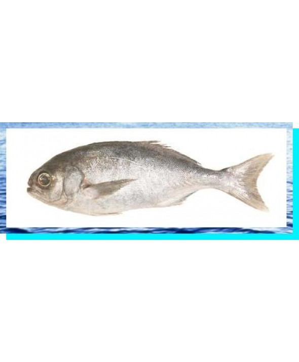 Blue Nose Snapper (H&G) (New Zealand)