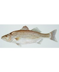 Wild Striped Sea Bass (Rockfish)