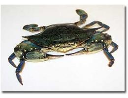 Live Blue Crabs