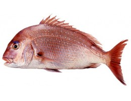 Red Sea Bream - Madai (Whole G&G 5lbs)