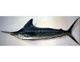 Striped Marlin Loin (Sashimi Grade)